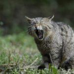 あくびをするネコ