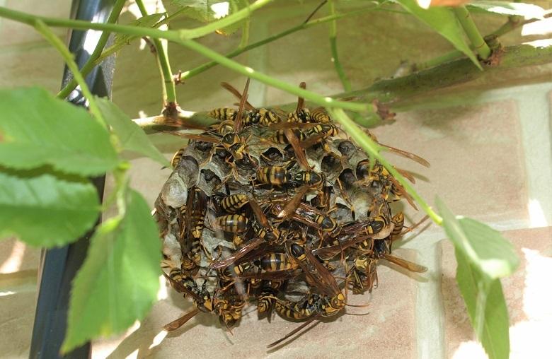 アイキャッチ画像ハチの巣駆除